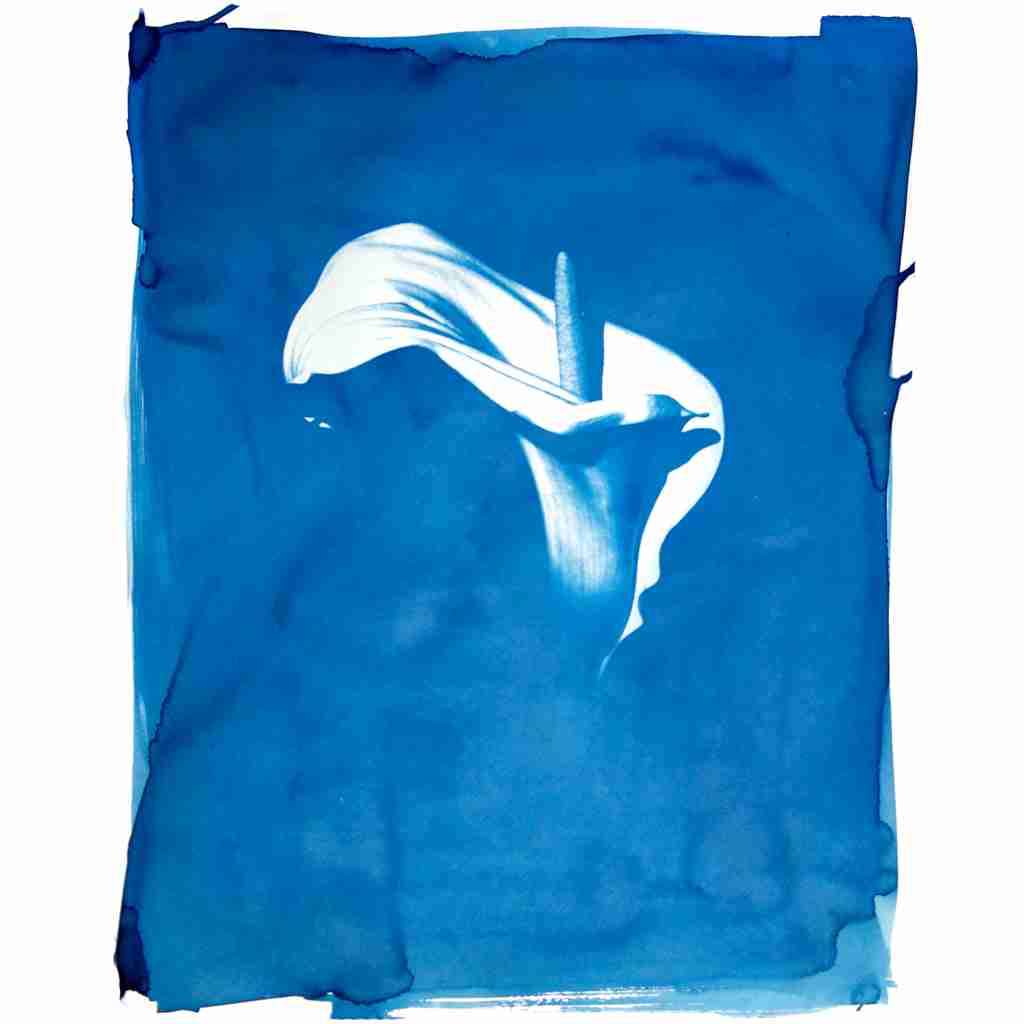 cyanotype arum lily by Emma Plunkett art