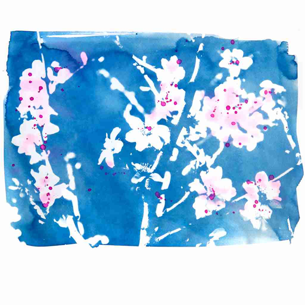 cyanotype almond blossom painted pink by Emma Plunkett art