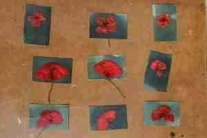 printing cyanotype poppies in the Andalusian sunshine
