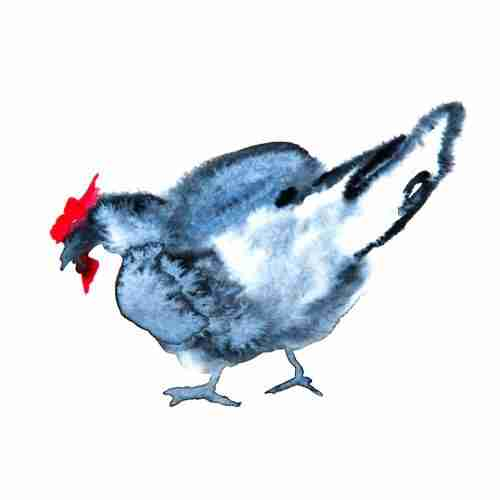 Andalusian Blue chicken painted in watercolours